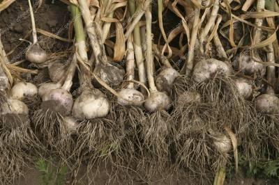 harvesting-garlic