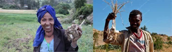 Ethiopia-garlics-processing-machine
