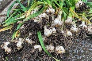 How to Grow Garlic Delicious