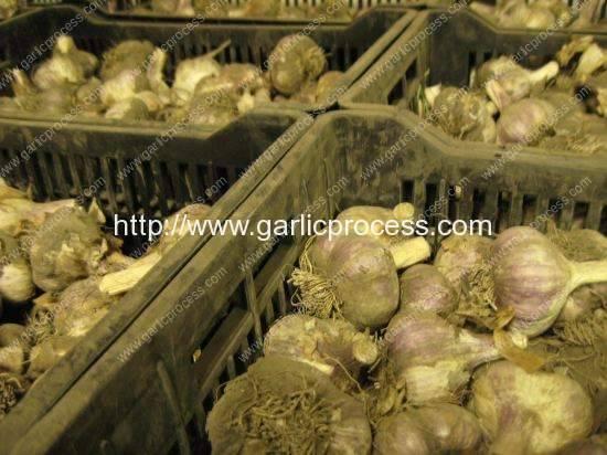 gourmet-garlic-cleaning