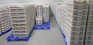 How-to-Storage-Black-Garlic-after-get-out-from-Garlic-Fermentation-Machine