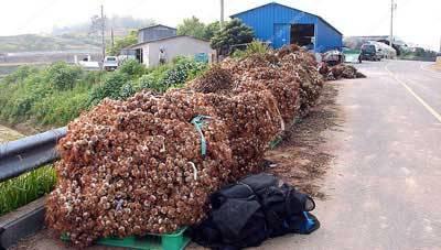 Korea-Goheunggun-Garlic-harvest